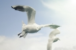 1257262_gulls_in_flight